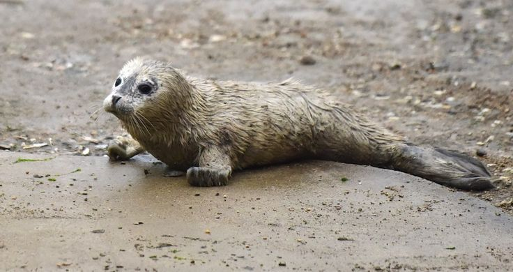 Newborn spotted seal cub meets with the public at seal bay of Yantai City, east China's Shandong Province, March 1, 2017. Three seal cubs which were born in
