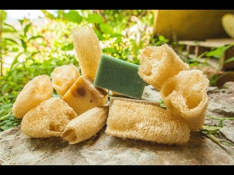 Grow Your Own Luffa Sponge in YourGarden