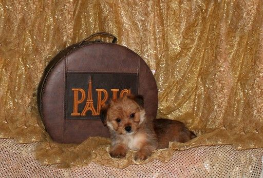 Morkie puppy for sale in BONHAM, TX. ADN-45365 on PuppyFinder.com Gender: Male. Age: 13 Weeks Old