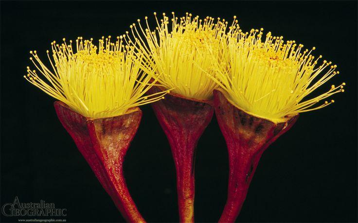 Eucalypt flowers - Australian Geographic