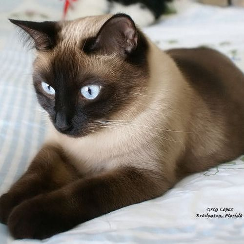 Siamese Cat Behavior | Cat Photo: Siamese cat Shadow Apple Head Seal Point