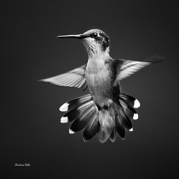 Black and White Hummingbird Photo Art Series Black and White Hummingbird Photo Art Series. I recently finished a new black and white hummingbird photo art series. Here are three pieces from the col...