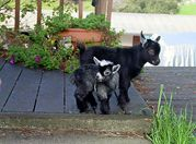 pygmy goats for milking and just fun