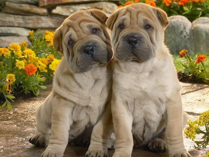 Las 5 mejores razas de perros de piel arrugada