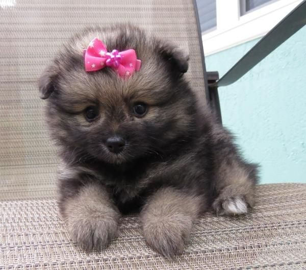 17 Best images about Pom ️ on Pinterest | Cutest dogs ...