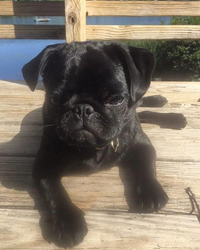 I M Never Getting Out Of Bed Black Pug Puppies Cute Pugs