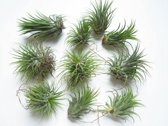 Air Plant-Tillandsia Air Plants-Terrarium Air Plants-Terrarium Supplies-Home Decor-Beach Wedding Decor-Terrarium Plants