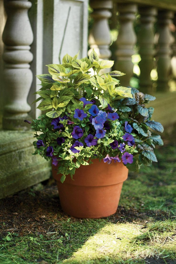 All About Purple Container Combo from Proven Winners Plants