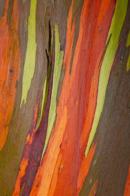 Colori nel tempo    Pezzi di corteccia si staccano dall'albero in momenti diversi creando così l'effetto arcobaleno. La corteccia più interna è di un verde brillante che si scurisce con il passare del tempo, assumendo, a seconda degli anni, toni violacei fino a raggiungere sfumature di rosso, arancione e marrone.