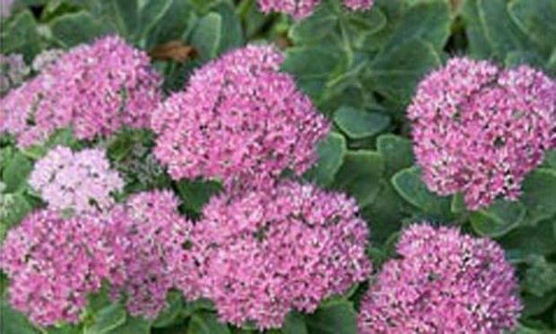 Plant of the week: Sedum spectabile