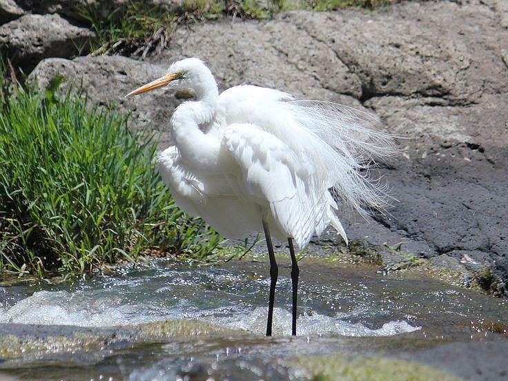 White Heron Australia