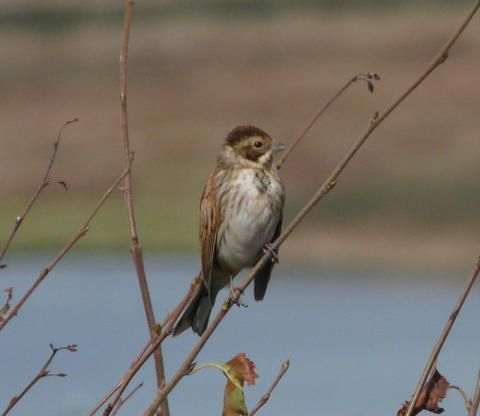 Reed Bunting: an unfulfilled prophecy | Nature Notes from Dorset