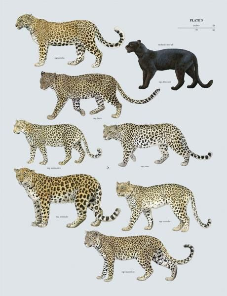 Leopards- Great to see the sub species of the Leopard!