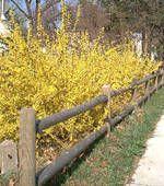 Forsythia: Forsythia Bush, Yellow Flowers, Force Forsythia, Flowering Shrubs, Flowers Pictures, Spring Bloom, Early Spring, Flowers Shrubs, Forsythia Flowers