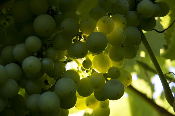 grapes - raïm - uvas