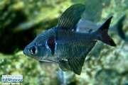 *Tetra Black Phantom 2 a 3 cm   ( AC18 )  - RsDiscus Aquários