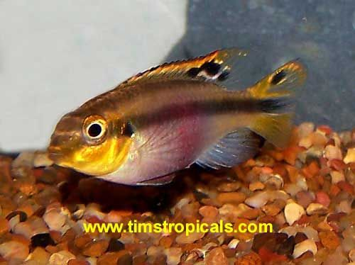 Female Kribensis Pelvicachromis Pulcher Cichlids African Cichlids Tropical Fish