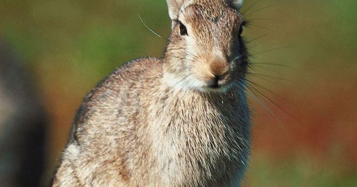 Etapas de la vida de los conejos silvestres