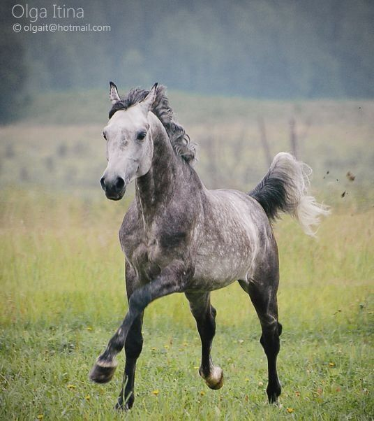 Beautiful Dapple Grey TWH Gelding for Sale  Silver Berlin SOLD