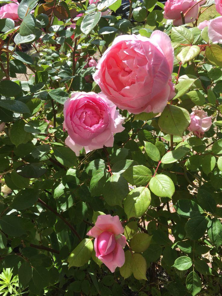 Rosier brother cadfael picardie rose parfum e et sans - Rosier grimpant sans epine ...