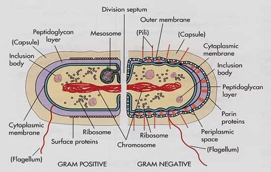 Gram cells---Gives a side-by-side visual comparison of the differences of a gram positive and a gram negative cell