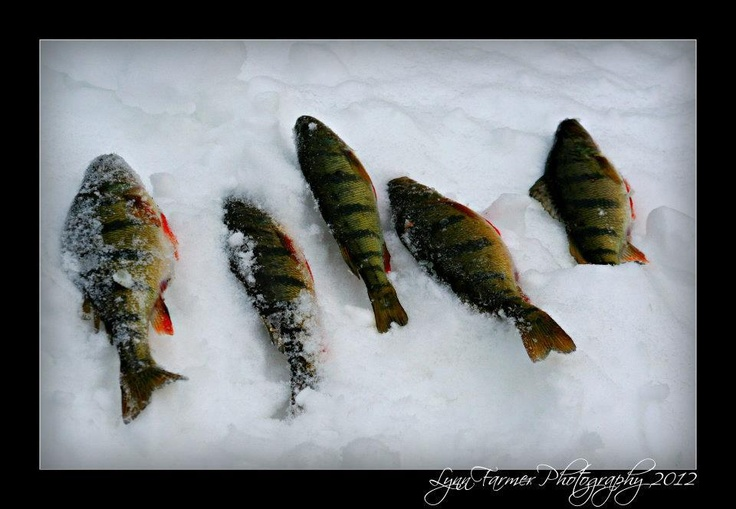 17 best images about ice fishing on pinterest grumpy old for Ice fishing perch