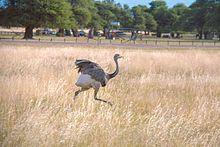 Greater rhea pair arp - Rhea (bird) - Wikipedia