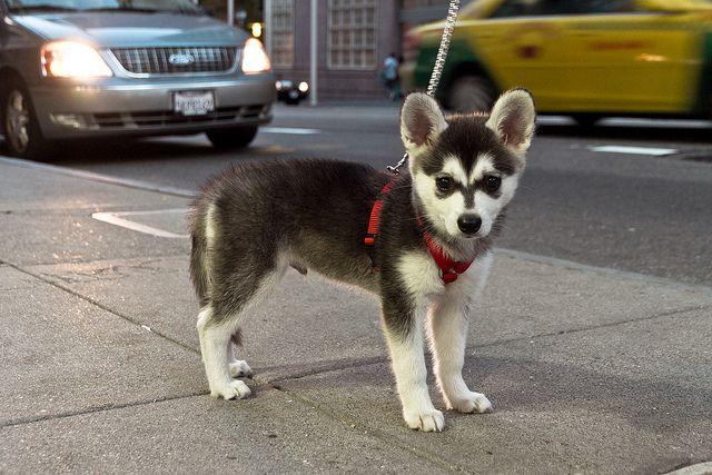 mini husky | Mini husky! | Flickr - Photo Sharing!