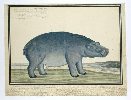 Nijlpaard (Hippopotamus amphibius), Robert Jacob Gordon, c. 1777 - Search - Rijksmuseum