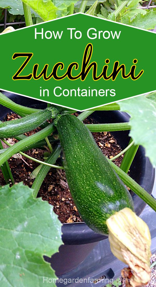 How To Grow Zucchini In Containers Growing Zucchini Growing Vegetables In Pots Growing Vegetables