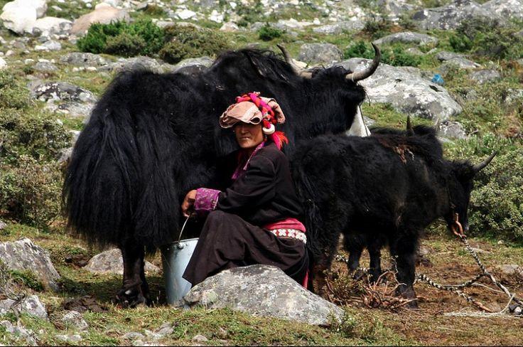#SHOKAY #premium #knitwear #woven #spun from #yak #down #naturalfibers #fibers #yakdown #Qinghai #China #Tibetan #Region #classic #timeless #traditions #artisan #natural #beauty #knits #knitwear #SHOKAYknits #sophisticated #garments for your closet #staples #foundations #comfortable #soft #warm
