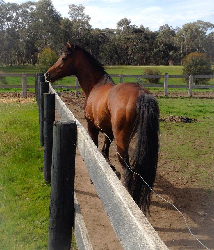 The daddy of my babies ... Trizar hez Devine ..reg. Arabian stock horse.   Six year old bay stallion.