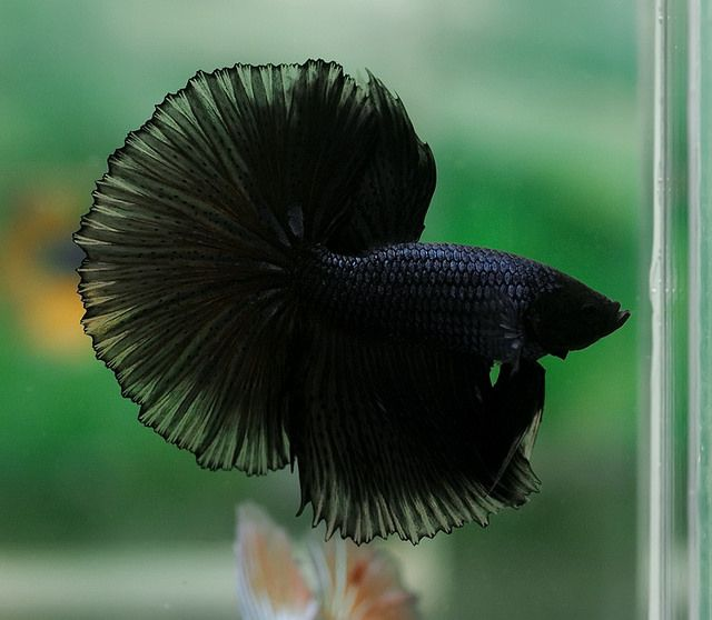 141 Best Images About Betta Fish On Pinterest Copper