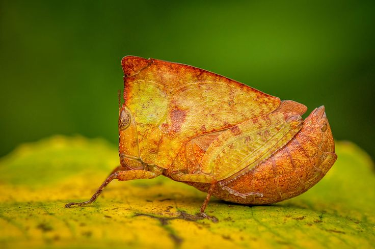 「Hooded grasshopper」的圖片搜尋結果