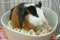 Potty training your guinea