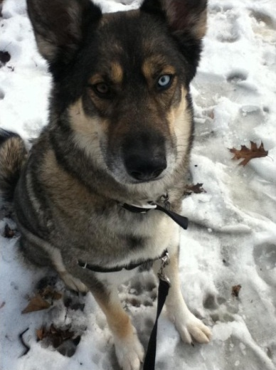 wolf-dog hybrid.