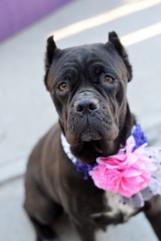 Brooklyn Center SUGAR – A1065051 FEMALE, BLACK, CANE CORSO MIX, 5 yr STRAY – STRAY WAIT, NO HOLD Reason STRAY Intake condition INJ MINOR Intake Date 02/13/2016, From NY 11210, DueOut Date 02/16/2016,