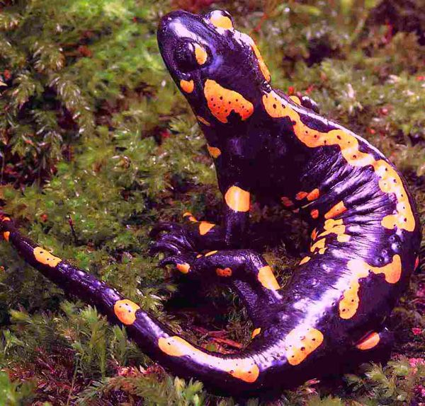 Fire Salamander (not a frog)