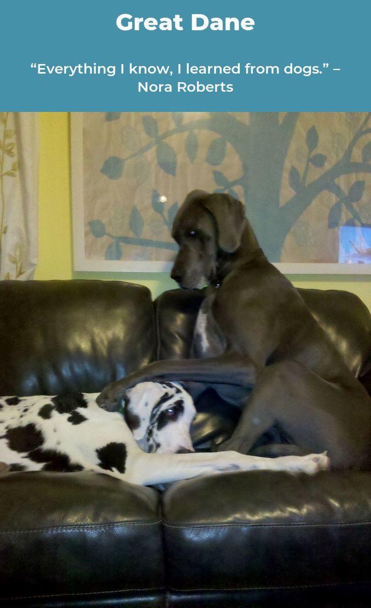 Pin By Robin J Manuel On Great Dane Great Dane Dogs Dane Dog Dogs