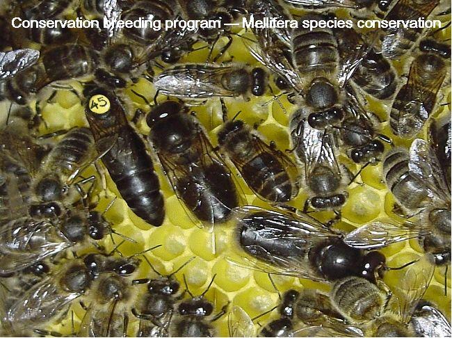 Mellifera-Dunkle Biene  Dunkle Bienen sind:     > friedlich, um nicht zu sagen lammfromm  > robust und vital  > langlebig  > sehr winterhart  > flugstark, sie sammeln bis in 5 Km Entfernung  > in der Lage gute Honigleistung zu erbringen  > Selbstversorger  > keine Durchbrüter im Winter  >  haben einen angepassten Schwarmtrieb, häufig schwarmträger als  Carnica  >  haben einen an die Tracht angepassten Brutzyklus © Text vieh-ev.de