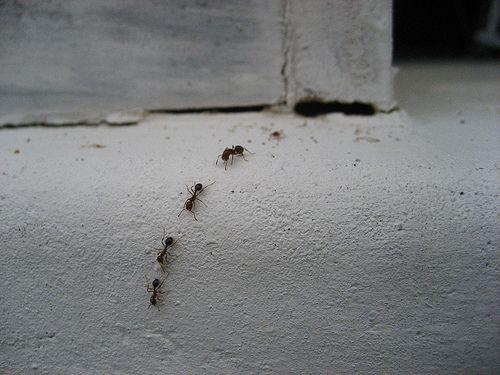 Allontanare le formiche da casa