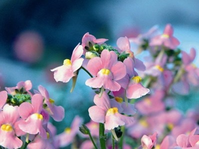 Karoo Pink: 'KAROO Pink' (improved) er en tydelig forbedret udgave, med tæt, fast vækst og stærke stængler. Den har smukke lysrosa til lyserøde blomster med en dejlig duft. Væksten er opret og busket, hvilket gør planten velegnet til krukker, altankasser eller udplantet på en solrig plads, gerne i kombination med andre sommerblomster. Højde x bredde: ca. 30 cm x 30 cm. Blomstrer fra april til oktober.