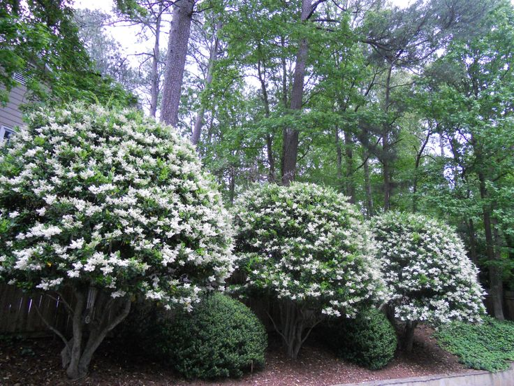 Ligustrum Trees Grow Great In Louisiana Evergreen