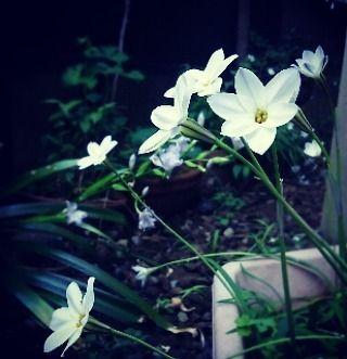 いいね!30件、コメント3件 ― OzawA.Kさん(@kiy.ozawa)のInstagramアカウント: 「裏庭の一角に 花ニラが綺麗にひっそり咲いていた件  #裏庭 #裏庭の花 #花韮 #花ニラ #ハナニラ  #ハナニラの花 #白い花 #花 #フラワー #flower #flowers #follow…」