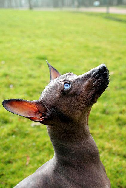 17 Best images about Xoloitzcuintli on Pinterest   Wear
