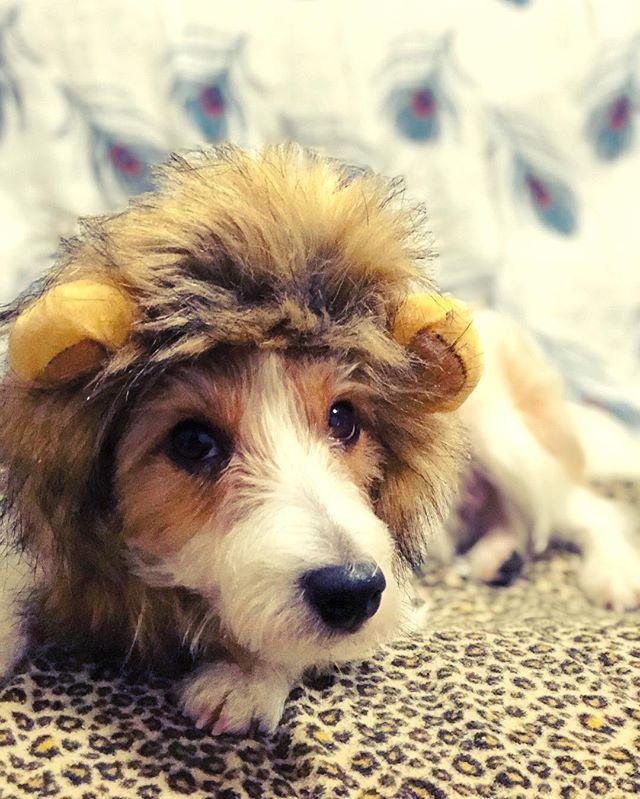我が家の愛犬も百獣の王に。  #ジャックラッセルテリア #犬 #被り物 #愛犬 #アマゾンのcm #真似 #クリスマスプレゼント #🎁 #ちっちゃい #ライオン #かわいい #iphoneで撮影 #ポートレートモード #素敵  #dog #lion #jackrussellterrier #photooftheday #iphone8plus  #present #Christmas #xmas