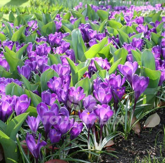 #Crocus #Flowerbulbs #Landscaping #Gardening #Flowerbeds #Trend #Landscape #Flowers #Colors #Colorful #Bulbs #Garden #SpringGarden #Spring #FallPlanting