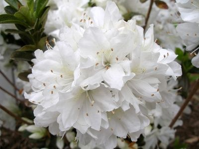 Best 25 Azaleas Landscaping Ideas On Pinterest Flowers
