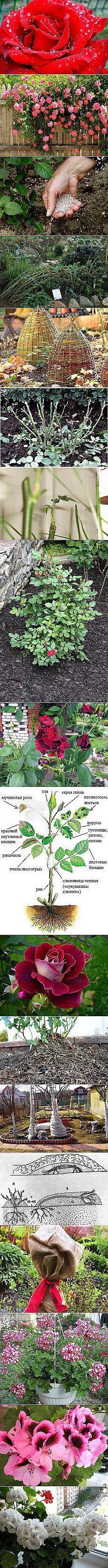 Антонина Лобанова: Как ваырастить розу? | Постила.ru
