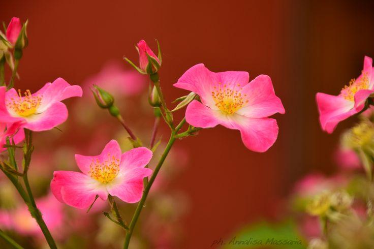 #rosa - #rose www.fattoriadelleerbe.it